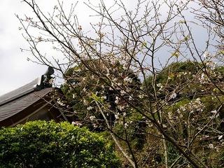 Engakusakura071006