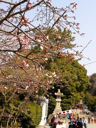 Hachimankanzakura080313