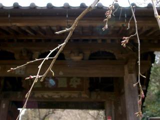Ankokusidarezakura080318