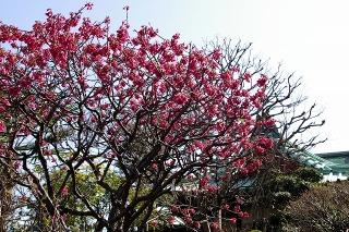 Daigyokanhizakura080322