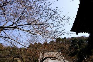 Myohonsakura080322