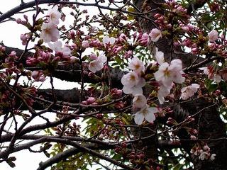 Sakura080323