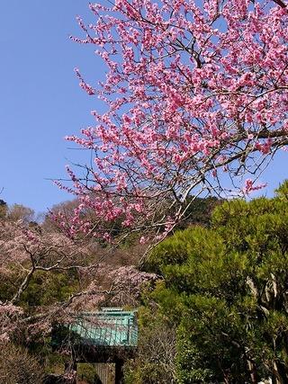 Kosokumomosakura080325