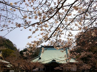Komyohondosakura080326