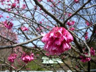 Ryuhokanhizakura080327
