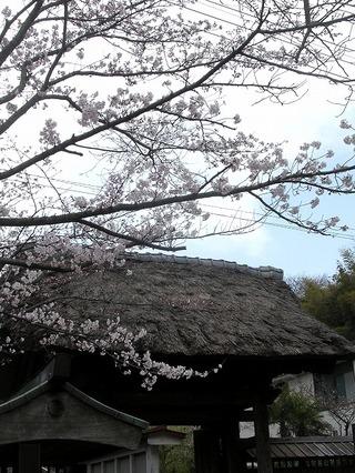 Ryuhosakura080327