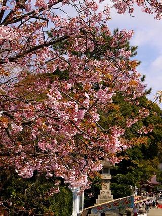 Hachimankanzakura080328