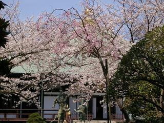 Choshosakura080329