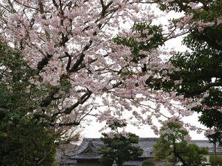 Hongakusakura080331
