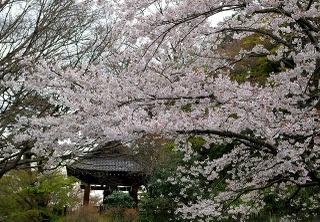 Myohonshorosakura080331