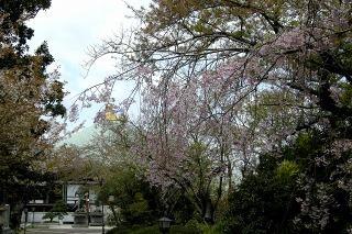 Choshosidarezakura0804092