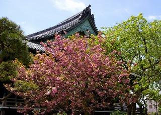 Hongakusakura080419
