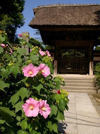 Gokurakufuyo080909
