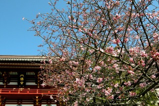 Hachimankawaduzakura090212