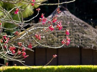 Ryuhojikanhizakura090305