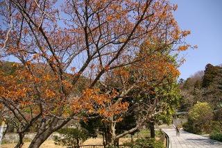 Ryuhojitubakikanzakura090305