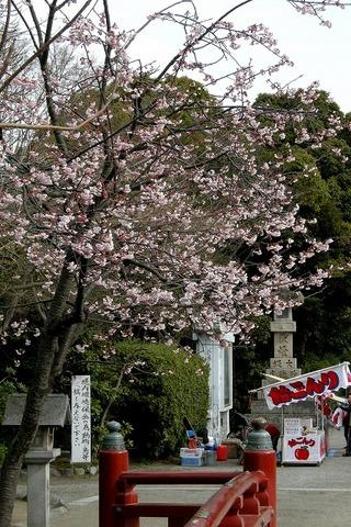 Hachimankanzakura090311