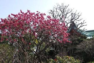 Daigyojikanhizakura090312