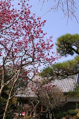 Koshojikanhizakura090319
