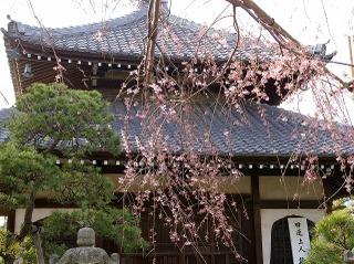 Hongakujisidarezakura090321