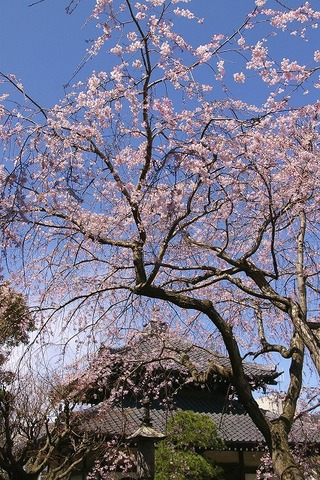 Hongakujisidarezakura090326