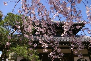 Hongakujisidarezakura0903262