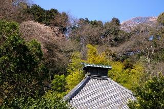 Kosokujiyamazakura090326