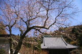 Myohonjisakura090326