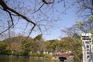 Hachimansakura090327
