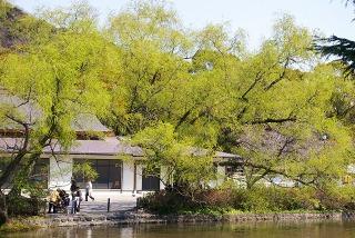 Hachimanyanagi090327