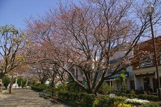 Shichirigahamasakura090330