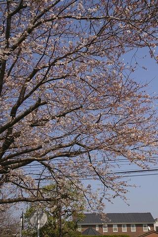 Shichirigahamasakura0903302