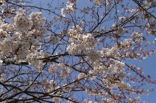 Shichirigahamasakura0903303