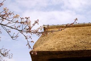 Ryuhojisanmonsakura090331