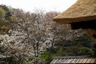 Ryuhojisanmonsakura0903312