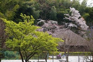 Ryuhojisidarezakura090331