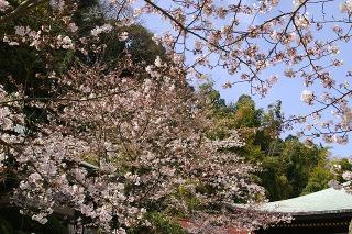 Choshojisakura0904023