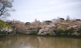 Hachimansakura0904024