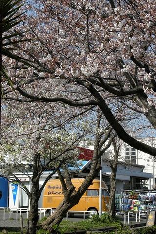 Shichirigahamasakura0904032