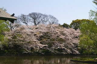 Hachimansakura090406