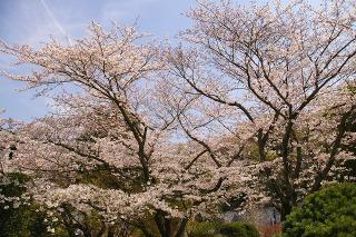 Hokokujisakura090406