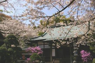 Hokokujisakura0904063