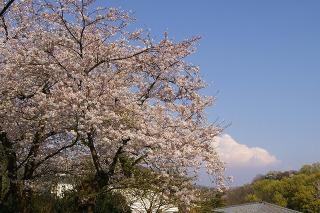 Kamakurayamasakura090408