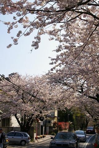 Kamakurayamasakura0904082
