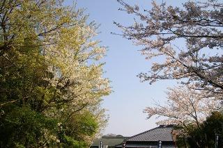 Kamakurayamasakura0904083