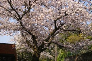 Kamakurayamasakura0904084