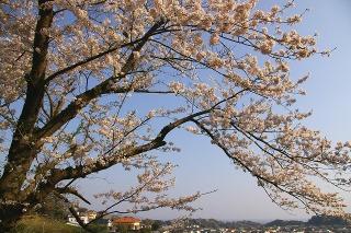 Kamakurayamasakura0904085