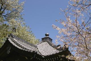 Kokuzodosakura090410