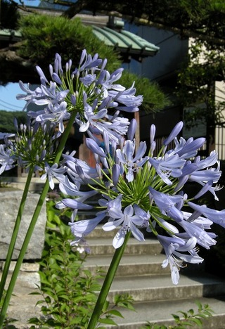 Daigyoujiagapanthus090623