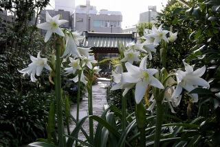 Daigyoujihamayu090623